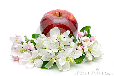 Red apple and apple flowers on a white background