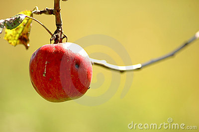 Red apple hanging from tree.