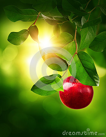 Free Red Apple On A Tree Royalty Free Stock Photos - 90984658