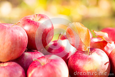 Red apples in autumn garden