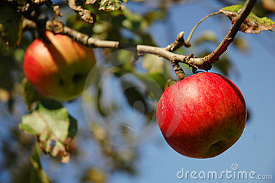 Red apples hanging from tree.