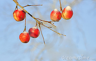 Red apples in winter