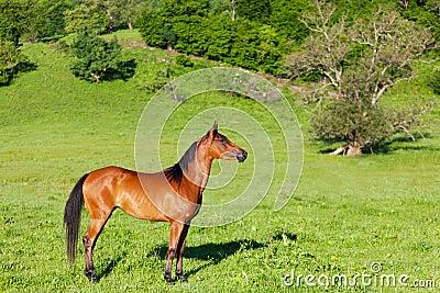 Red Arab horse