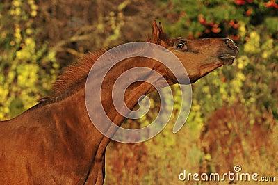 Red arabian horse stallion portrait