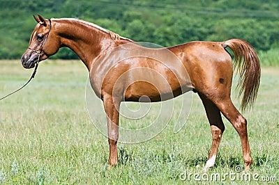 Red arabian stallion portrait in summer
