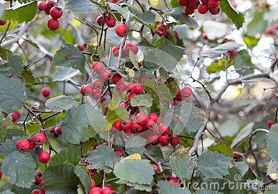 Red ash-berry