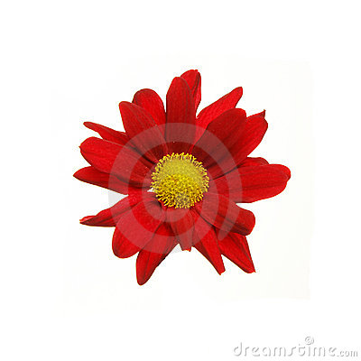 Free Red Aster Flower Royalty Free Stock Photography - 12524237