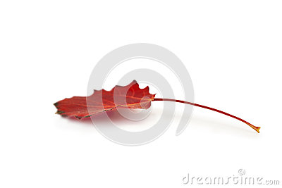 Red autumn aspen leaf