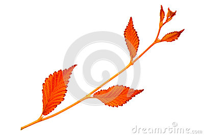 Red autumn leaf elm on white background