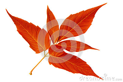 Red autumn leaf maple on white background