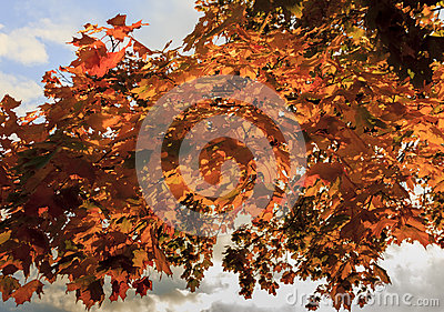 Red autumn leaves with sky and clouds in backgrounds