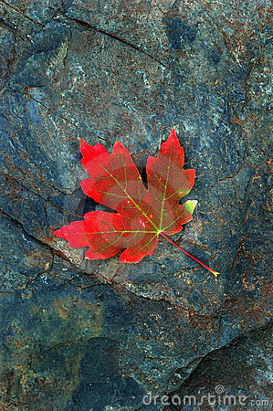 Red Autumn Maple Leaf on Rock