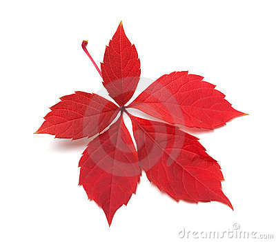 Red autumn virginia creeper leaves