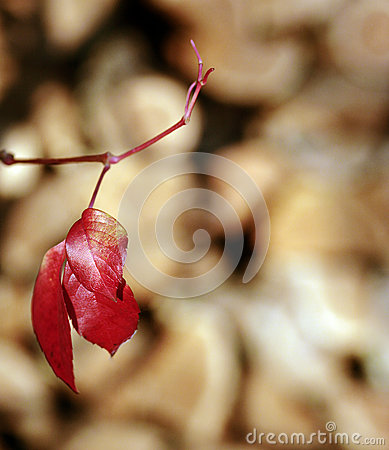 Red autumnal leaves over wood background