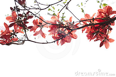 Red azalea flower on white background