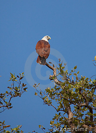 Red-backed Sea-eagle