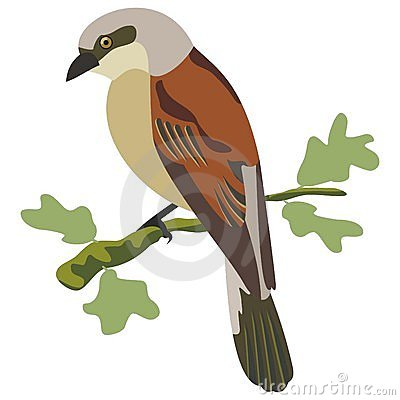 Red backed shrike bird