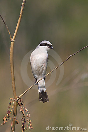 Red backed Shrike / Lanius collurio