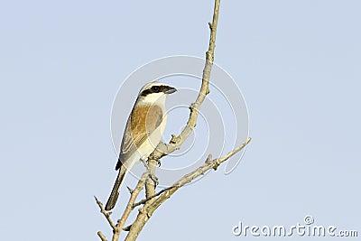 Red-backed Shrike (Lanius collurio) on branch