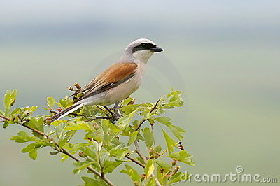 Red backed shrike - male