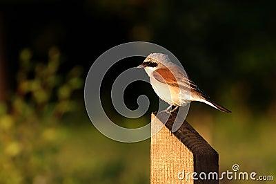 Red backed shrike - male
