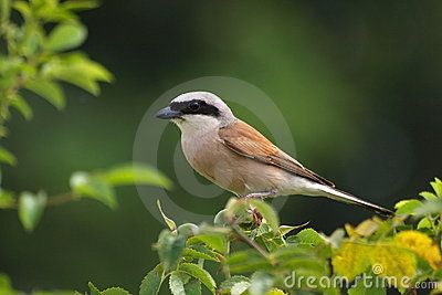 Red-backed Shrike, predator, lanius colluri