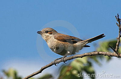 Red-backed shrike sitting on a branch