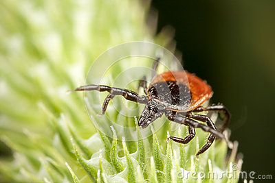 Red backed tick on green plant