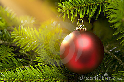 Red ball in a real Christmas tree