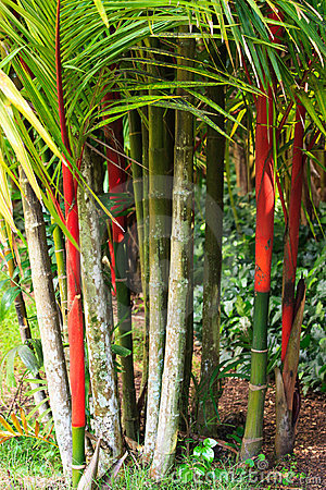 Red Bamboo, Kauai