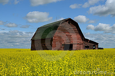 Red Barn In Canola Field