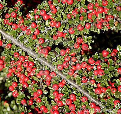 Red barry -detail from garden