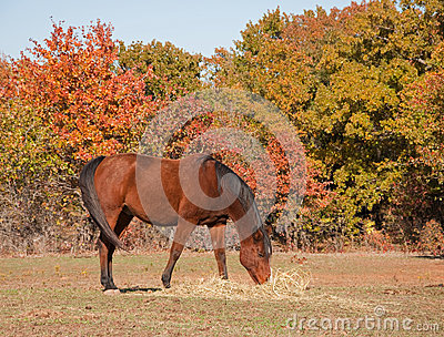 Red bay horse eating hay in pasture
