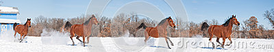 Red bay horse galloping in snow