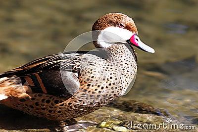 Red beak duck