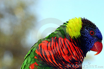Red-Beaked Rainbow Lorikeet