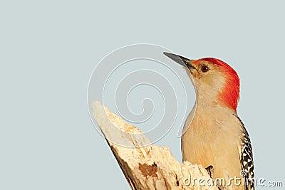 Red bellied woodpecke