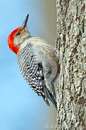Free Red-Bellied Woodpecker Royalty Free Stock Photo - 37813395