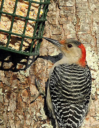 Free Red-bellied Woodpecker At Suet Feeder Royalty Free Stock Photo - 22544065