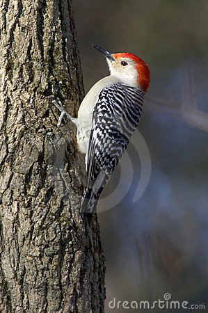 Free Red Bellied Woodpecker Clinging To A Tree Stock Photography - 547152