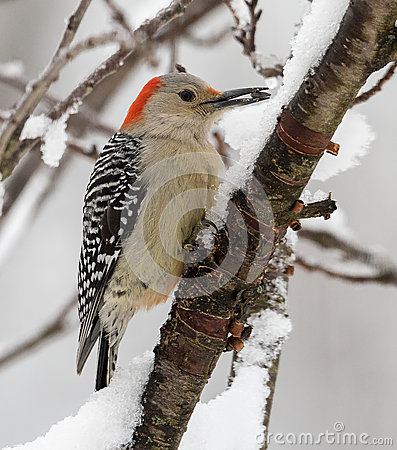 Free Red-bellied Woodpecker Female Stock Images - 49482434