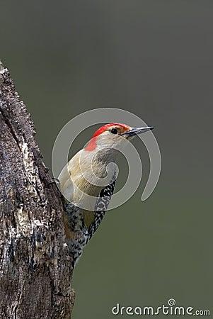 Red-Bellied Woodpecker (Malanerpes carolinus)