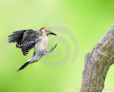 Red-Bellied Woodpecker (Melanerpes carolinus)