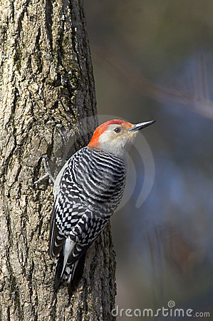 Free Red-bellied Woodpecker On A Tree Royalty Free Stock Images - 547149