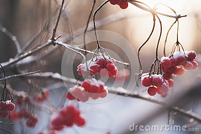 Red Berries Free Public Domain Cc0 Image