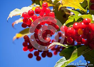 Red berries of arrowwood