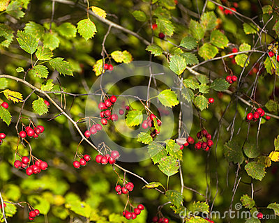 Red Berries And Green Leaves Stock Photo Image 34247100