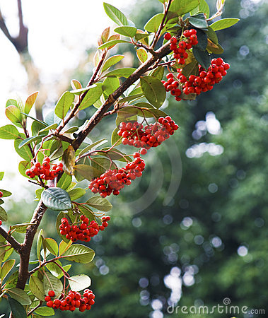 Red berries hanging on branch