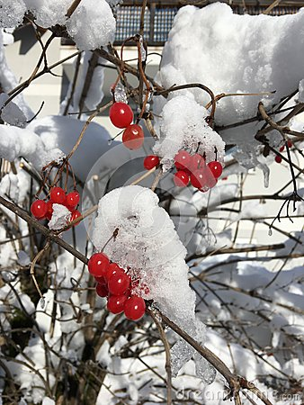 Free Red Berries In White Snow, St. Johann Im Pongau, Austria In Winter Royalty Free Stock Photos - 85703978