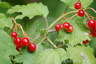 Red berries on leafy bush